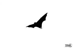 Flying Fox (morbidtibor) Tags: africa seychelles praslin bat flyingfox fruitbat