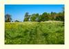 Wild Flower Meadow (fenman_1950) Tags: cambridge fenditton dittonmeadows wildflowers buttercups meadow field tree bushes sky
