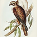 Ieracidea occidentalis, Guold (Westren Brown Hawk) illustrated by Elizabeth Gould (1804–1841) for John Gould's (1804-1881) Birds of Australia (1972 Edition, 8 volumes). One of the most celebrated publications on Ornithology worldwide, Birds of Australia i