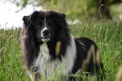 Chaplin (katie.fotografie) Tags: dog pet animal hund haustier tier grass gras natur nature dogportrait hundeportrait dogphotography hundefotografie nikon natural outside