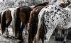 foire aux chevaux à Bédarrides (jemazzia) Tags: extérieur outside foire fair feria feira eerlijk messe fiera horses cavalli pferde caballos paarden cavalos animal