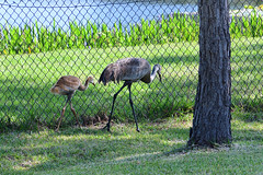 Staying close to parent (M. Coppola) Tags: florida pasco egretglade juvenile antigonecanadensis sandhillcrane