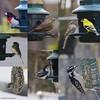 © 2018 Carrie Anderson (WBU Barrie) Tags: wbubarrie wildbirdsunlimited wildlife birds barrie birdfeeders backyardbirds birding birdfeeding simcoecounty nature canada ontario nuthatch whitebreasted redbreasted downy woodpecker darkeyed junco goldfinch cowbird rosebreasted grosbeak sparrow suet seed eliminator squirrel buster plus