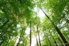 Frühling im Wald (grafenhans) Tags: sony alpha 68 alpha68 a68 sigma 4056 1020 uww ultraweitwinkel wald sonne laub baum bäume baumstamm baumkrone grafenwald bottrop nrw