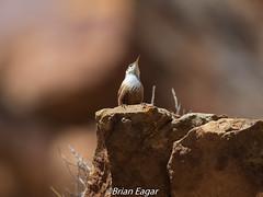 Canyon Wren (Brian Eagar Nature Photography) Tags: wild wildlife nature animal outdoor utah utahwildlife utahnature bird utahbird birdwatching explore wren canyonwren olympus olympus300mmf4 em1m2 em1mii 300mm