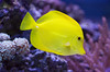 Yellow Tang (San Diego Shooter) Tags: fish fishes sandiego birchaquarium bokeh macro lajolla