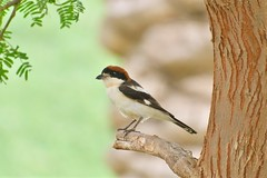 WOODCHAT SHRIKE (RAMI SABER DAHMOUS) Tags: ramidahmous rami ramisaber nikond500 nikon lens70300vr birds birdwatching shrike shaheedpark woodchat دغناش الشامي