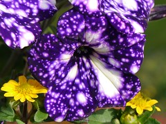 Nachthimmel / NightSky (rudi_valtiner) Tags: blume flower blüte blossom petunie petunia nachthimmel nightsky violett violet weiss white flatz niederösterreich loweraustria österreich austria autriche violaceous ie fe
