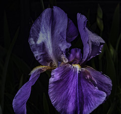 Purple Bearded Iris In The Light (Bill Gracey 18 Million Views) Tags: germanbeardediris purple poway fleur flower flor ambientlight offcameraflash lastoliteezbox softbox yongnuo yongnuorf603n nature naturalbeauty macrolens