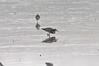 Gaudy (martytdx) Tags: heislerville heislervillewma nj birding birds migrationspring2018 shorebird ruff philomachuspugnax male philomachus scolopacidae rarity lifelist