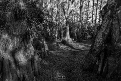 Big Cypress (J.Coffman Photography) Tags: bigcypress evergladesnationalpark season preserve state fl sunshine wilderness hiking hike d810 nikon clouds marsh forest states united florida big cypress everglades national park landscape trees swamp dry black white