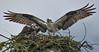 Good job, well done (wesleybarr1962) Tags: osprey nest pandionhaliaetus raptor seahawk birdofprey