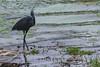 BLUE HERON (Ezio Donati is ) Tags: acqua water lagune lagoon uccelli birds fiori flowers natura nature paludi swamps animali animals africa costadavorio yamoussoukro areadeslacs