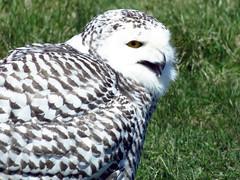 Kara Snowy Owl CRC IMG_0880 (Jennz World) Tags: ©jennifermlivick snowyowl owl raptor bird birds canadianraptorconservancy vittoria ontario canada