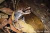 Spotted Litter Frog (Leptobrachium hendricksoni) (Steven Wong (ATKR)) Tags: steven wong siew por atkr45 stryker wsp atkr herp herping malaysia spotted litter frog leptobrachium hendricksoni