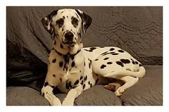Album Chiens Clients Janvier-Avril 2018 (27) (Dalmatien-Golden-Braque) Tags: dalmatien goldenretriever braquedeweimar chien carcassonne elevage eleveur animaux dog breader
