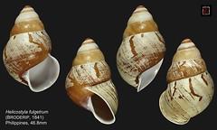 helicostyla fulgetrum1 philippines 46mm8 (MALACOLLECTION Landshells Freshwater Gastropods) Tags: bradybaenidae helicostylinae helicostyla helicostylafulgetrum broderip1841 philippines visayas guimarasisland claudeandamandineevanno gastéropodes gastropods invertebrates faune fauna macro gastropoda escargots terrestres collection schnecken mollusques molluscs mollusca coquillages landshells landschnecken landmollusken landsnails malacologie malacology macrophotography macrophotographie