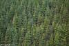 Forest (2000stargazer) Tags: lyshornskaret hordaland norway forst spruce nature landscape green canon