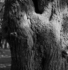 wrinkle (Woodenship) Tags: shinjuku tokyo tree blackandwhite bw rolleiflex 28f rpx400 film analog monochrome twinlens