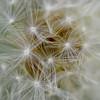 Synapses (nrg_crisis) Tags: dandelion seeds macro