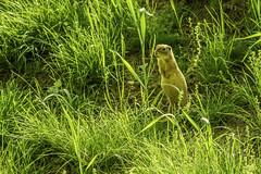 European ground squirrel (a7m2) Tags: ziesel groundsquirrel erdhörnchen nationalparkdonauauen tiere orthanderdonau loweraustria wandern danube