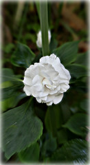 2018 Sydney: White Double Impatiens (dominotic) Tags: 2018 flower doubleimpatiens whiteimpatiens macro sydney australia