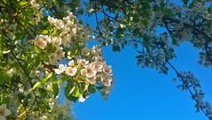 Pear blossom (catha.li) Tags: lgg4 pear blossom spring soe naturewatcher flower tree fantasticflower fantasicflower