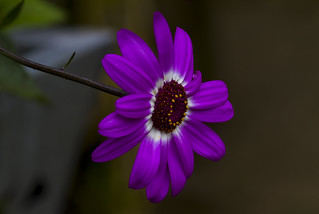 hanging out all alone, a perfect single pericallis (cineria), a Potterton garden, Aberdeenshire, Scotland