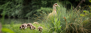 Egyptian Goose with Babies