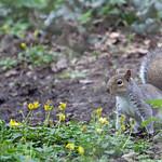 Eastern gray squirrel (Sciurus carolinensis) - Cullompton Leat Fields - April 2018 thumbnail