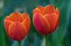 Flowers. (ost_jean) Tags: floraliabrussels nikon d5300 tamron sp 90mm f ostjean flowers bloemen fleurs tulpen tulips bokeh background belgique belgie belgica beautiful splendid nature natuur colors glow green macro makro perfect