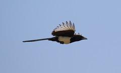 Eurasian Magpie Pica pica (Neil Cheshire) Tags: eurasianmagpie commonmagpie piebavarde elster urracacomun bird magpie corvidae picapica