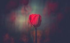 Tulip (Dhina A) Tags: sony a7rii ilce7rm2 a7r2 a7r minolta rf rokkorx 250mm f56 mirror reflex minolta250mmf56 md prime rokkor bokeh tulip flower