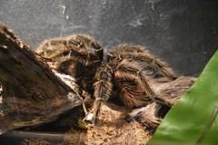 Tarantula (Adventurer Dustin Holmes) Tags: 2018 wondersofwildlife spider tarantula animal animals creepy theraphosidae arachnida arthropoda animalia