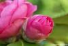 Camelia (Marjon van der Vegt) Tags: nature denhaag meerkoet eitjes voorjaar bloemenpracht varen water mensen fietsen apotheek empire lisdodde bloemenwinkel genieten