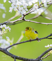 goldfinch (dbking2162) Tags: birds bird american goldfinch wildlife nature nationalgeographic yellow green white flowers trees indiana animal