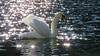 Leopoldsteinersee - Steiermark - Österreich (Felina Photography - www.mountainphotography.eu) Tags: leopoldsteinersee steiermark styria lake lac see meer lago swan zwaan cigne cigno schwan bird animal