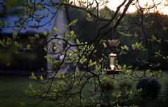 Ruby Throated Hummingbird (koperajoe) Tags: bokeh birding silhouette sunset westernmassachusetts birdfeeder ornithology leaves barn newengland hummingbird goldenhour helios44m spring