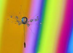 Floating colors (Lorraine1234) Tags: dandelion drops colors macro
