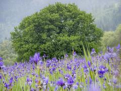 2018-05-20 09-43-20 (C) (turbok) Tags: blauviolett pflanze sibirischeschwertlilieirissibirica wasseranpflanzen wassertropfen wildblumen wildpflanzen c kurt krimberger
