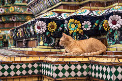 Temple Cat (Matt Molloy) Tags: mattmolloy photography watphrachetuphonvimolmangklararmrajwaramahaviharn watpho temple orange cat ceramic tiles flowers squares colourful sculpture detailed intricate art old architecture prang phranakhon bangkok thailand lovelife