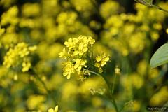 Ton sur ton (Missfujii) Tags: fleur jaune flore