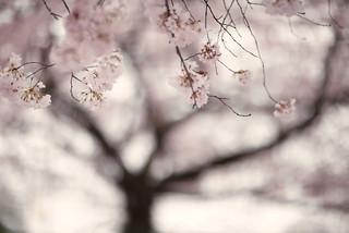 under the cherry tree