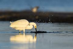 Snowy Sunrise-2 (frdjohns) Tags: bunchebeach florida nikon animal avian bird marsh nature water wetland wild wildlife snowy egret