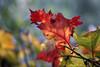 Autmn leaf. (gunnar.berenmark) Tags: atumn hã¶st leaf lã¶v blad höst löv