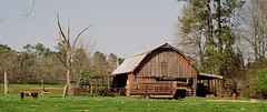 Barn on 110 Film (Neal3K) Tags: 110film georgia henrycountyga lomotiger200film pentaxauto110 barn cattle