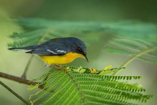 Mariquita (Setophaga pitiayumi) Tropical Parula