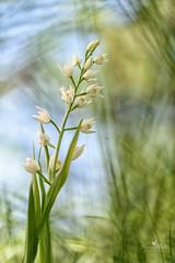 La Cefalantera maggiore (nome scientifico Cephalanthera longifolia (L.) Fritsch, 1888) è una piccola pianta erbacea e perenne dai delicati fiori bianchi appartenente alla famiglia delle Orchidaceae. (lorym_) Tags: macro fiore fiori orchidee orchideaspontanea gardalake lagodigarda flower flowers bianco verde