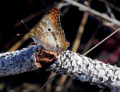 White Peacock Butterfly (Anartia jathrophae); Punta Gorda, FL, Babcock-Webb Wildlife Management Area [Lou Feltz] (deserttoad) Tags: nature insect butterfly refuge florida white orange swamp lake