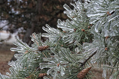 Today's weather report (beyondhue) Tags: ice spring pine needle tree ottawa weather beyondhue icicle frozen rain freezing canada